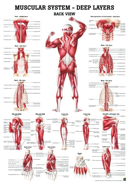 Invert further Micro as well Vasa Vasorum further Muscle L likewise Motor End Plate And Innervation. on musle system